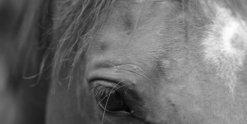 NSW Australian Horse Trail Riding Holidays With Arabian Horses - Valentino