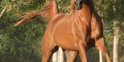 Kamal - Arabian Endurance Horse Riding Australia North of Sydney NSW