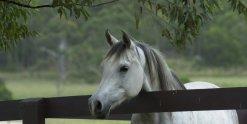 Kiya - Arabian Horse Riding Farm NSW Australia