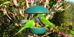 Australian Birdlife On Horse Riding Farm - Lorikeets Feeding