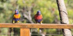 Rainbow Lorikeets Visiting Horse Riding Farm NSW Australia