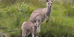 Kangaroos - Australian Wildlife In The Wild During Horse Ride
