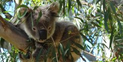 Australian Wildlife - Koalas In The Trees