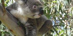 Australian Wildlife - Koala In Gum Tree