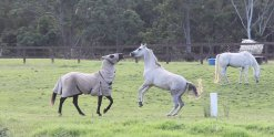 Horse Treks Australia - Kerewong Horses Play On Hinterland Farm NSW