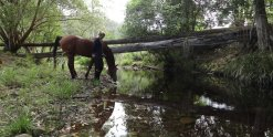 Arabian Horse Drinks At Quiet Creek In NSW Australian Hinterland