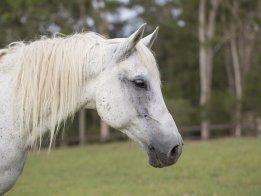 Manni - Trail Horse Riding Adventure Holidays NSW Australia