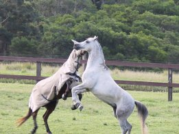 Endurance Trail Riding Horses Play In Large Paddocks Horse Farm NSW North Sydney