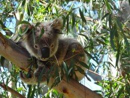 Australian Wildlife - Koala In A Tree On The Premises Of Port Macquarie Koala Hospital