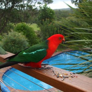 King Parrot At Kerewong Horse Farm Swimming Pool