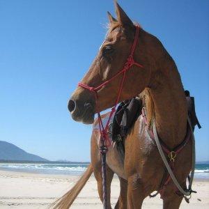 Kamal - Beach Horse Riding Holidays Port Macquarie NSW Australia