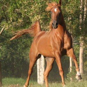 Kamal - Arabian Endurance Horse Riding Australia North of Sydney NSW