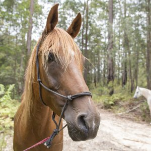 Kamal - Horse Riding Holidays East Coast NSW Australia