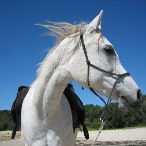 Kiya - Southern Cross Horse Treks Holidays NSW - Horse Beach Riding Near Port Macquarie