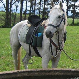 Manni - Trekking Horse At Southern Cross Horse Treks Australia Hinterland Horse Riding NSW