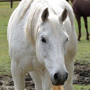 Manni - Horse Treks Australia Horse Riding Holidays Port Macquarie Hinterland NSW