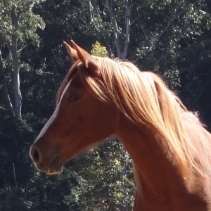 Arabian Horse Toby - Port Macquarie NSW