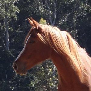 Arabian Horse Toby - Port Macquarie NSW