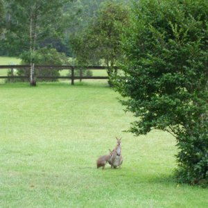Australian Wildlife Wallaby With Joey In Kerewong Garden Horse Riding Farm Holiday NSW