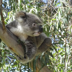 Visit The Port Macquarie Koala Hospital