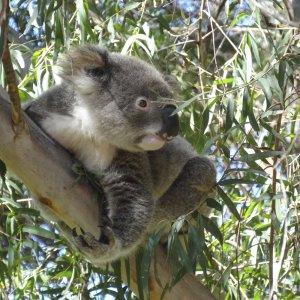 Visit The Port Macquarie Koala Hospital