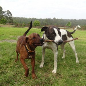 Meet The Kerewong Branch Managers - Horse Farm Dogs Jedda & Bowie