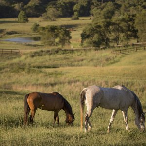 Southern Cross Horse Treks NSW Australia - Kerewong Horses In Summer Farm Pastures NSW