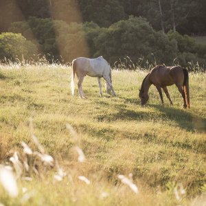 Kerewong Australian Horse Riding Holiday Farm NSW - Horses Grazing At Sunset