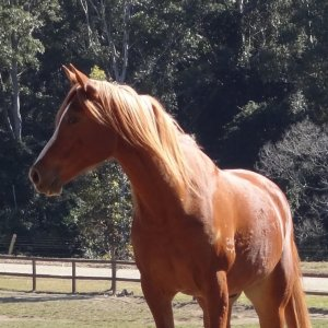 Arabian Horse On NSW Hinterland Holiday Farm