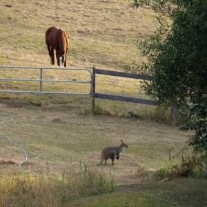 Australian Wildlife - Wallaby In Horse Farm Paddocks