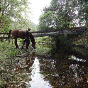 Arabian Horse Drinks At Quiet Creek In NSW Australian Hinterland
