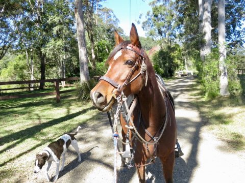 Horse Ready For Trail Riding NSW Australia