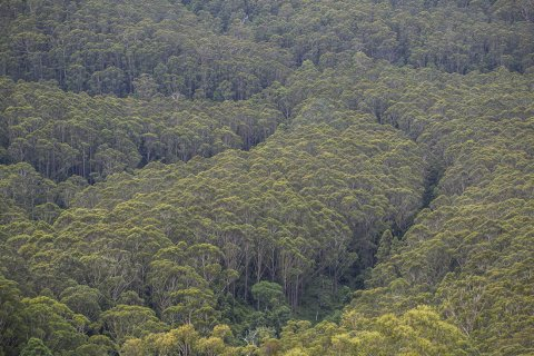 Australian Gum Trees - Eucalyptus Forest NSW Attractions