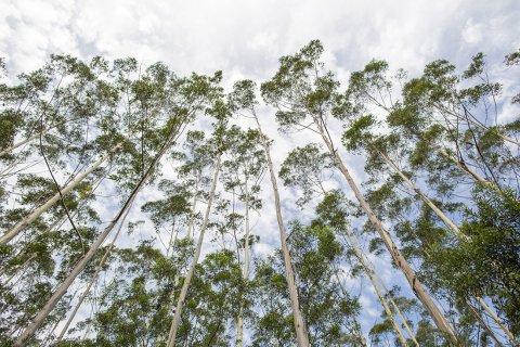 Horse Riding Tours Australian Nature Tall Gum Trees
