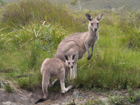 Kangaroos - Australian Wildlife In The Wild During Horse Ride