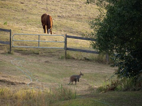 Australian Wildlife - Wallaby In Horse Farm Paddocks