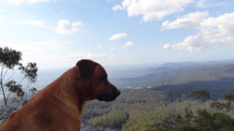 Rhodesian Ridgeback Jambo - King Of The Mountain