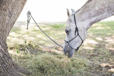 Jimmy - Horse Feeding Trekking Holiday Lunch Break - Horse Treks Australia NSW North Of Sydney