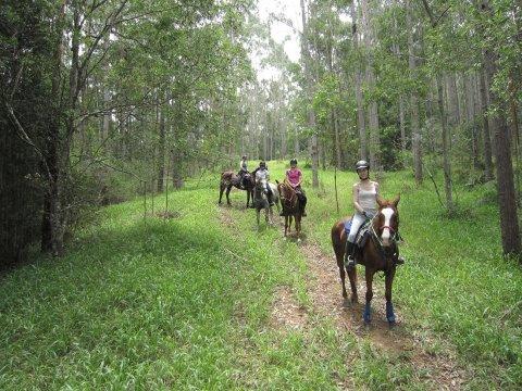 Horse Trail Riding Eucalyptus Forest Plantation Horsetrek Tours NSW