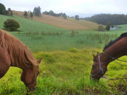 Horses Grazing On Comboyne Plateau, Southern Cross Horse Treks, NSW Australia