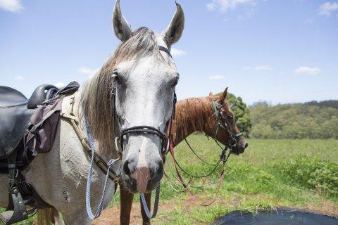 Arabian Horse Riding Tours, Rest Stop At Comboyne, NSW Hinterland, Australia