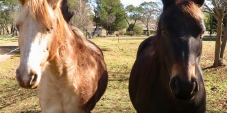 Australian Brumbies Trail Riding Horses