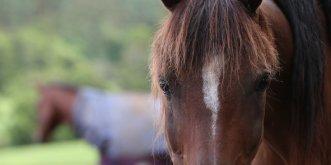 Kuta  - Australian Arabian Trail Horse In Kerewong Paddock