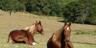 NSW Australia Trek Horses Resting