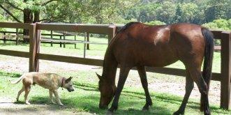 Arabian Horse And Australian Cattle Dog