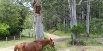Horse Riders Resting Under Australian Gum Trees NSW Hinterland