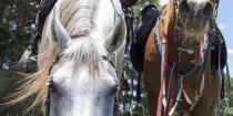 Jimmy And Charlie Drinking, Horse Riding Treks, Comboyne, Port Macquarie Hinterland NSW Australia