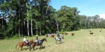 Horse Riding Trough Cattle Country, NSW Hinterland Australia