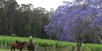 Blossoming Jacaranda Trees On Arrival At Bago Vineyards Horse Riding Tour NSW Australia