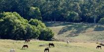 Australian Horse Farm Herd